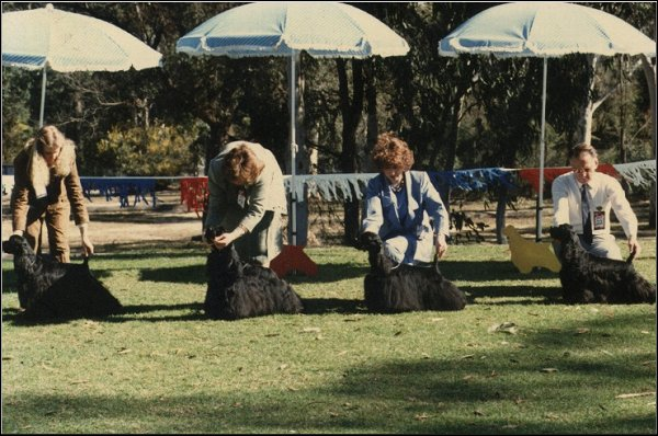 CH. LARAMIS ANDREW JACKSON CH. DOGANODOGS DESPERATE DAN (IMP.UK) CH. IDYLEWINS BLACK CHAT CH. SPICNSPAN ZINGALONG Sydney Specialty - some of the winning dogs of the time